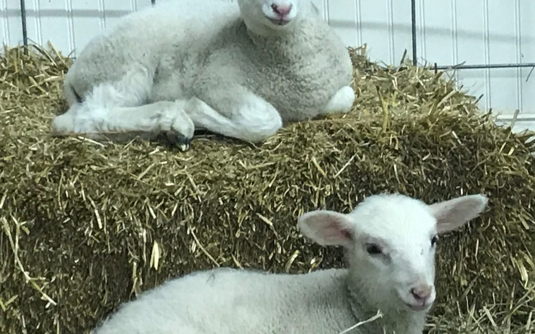 Come Snuggle Baby Lambs!